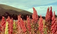 Agriculture du quinoa